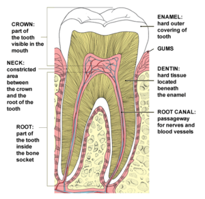 anatomy-of-a-tooth1-300x291