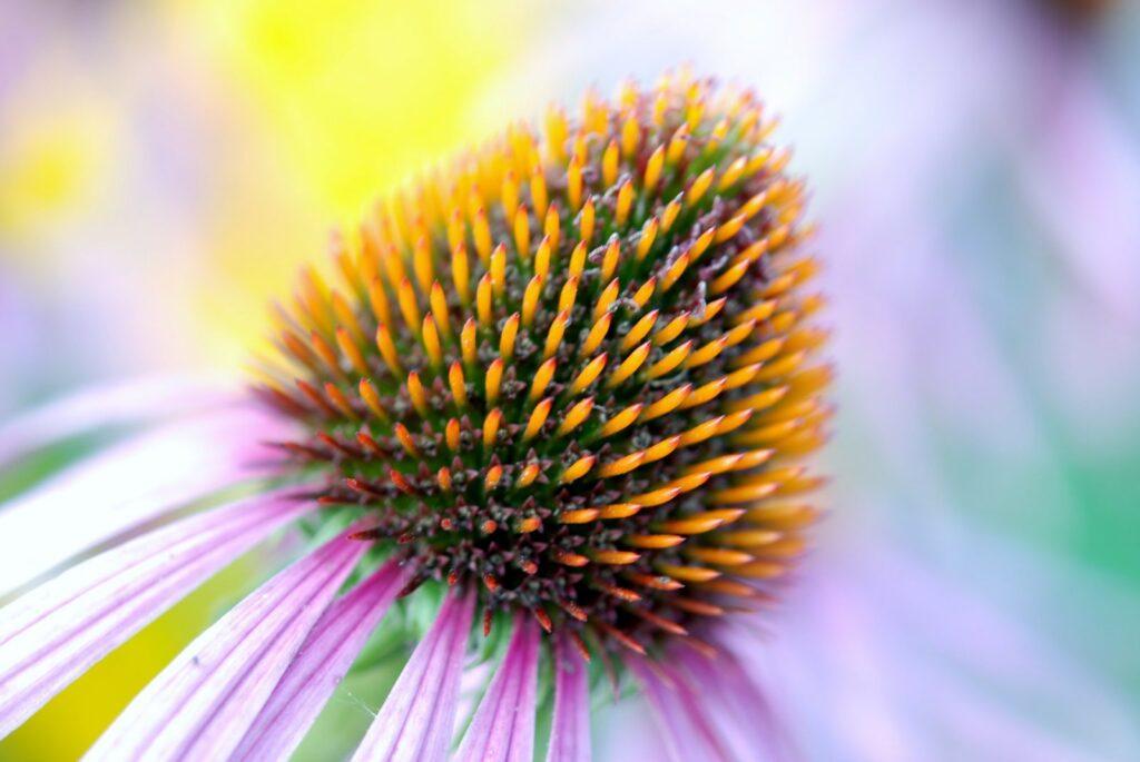 echinacea-22786_1920-1024x685